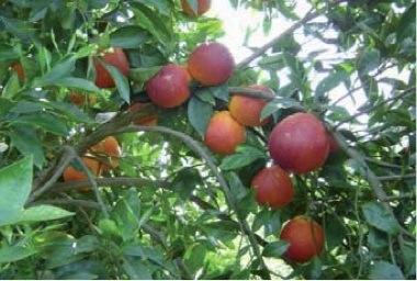 craday-agrumicoltura-acireale-10dic2011