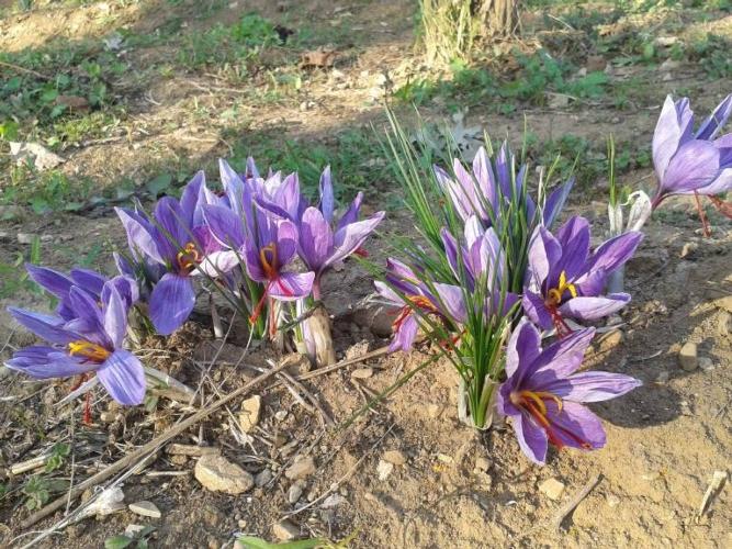 crocus-sativus-in-fiorituraottobre-2018azagricolapedrosi