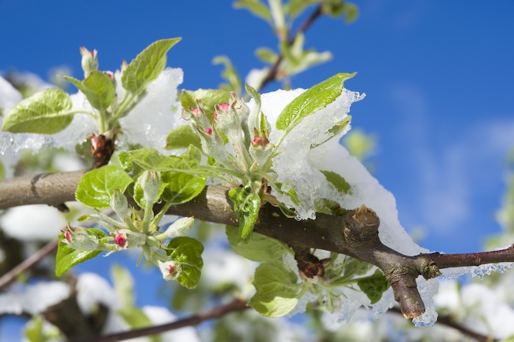 danni-maltempo-gelo-neve-melo-albero-by-mariusz-switulski-adobe-stock-750x500