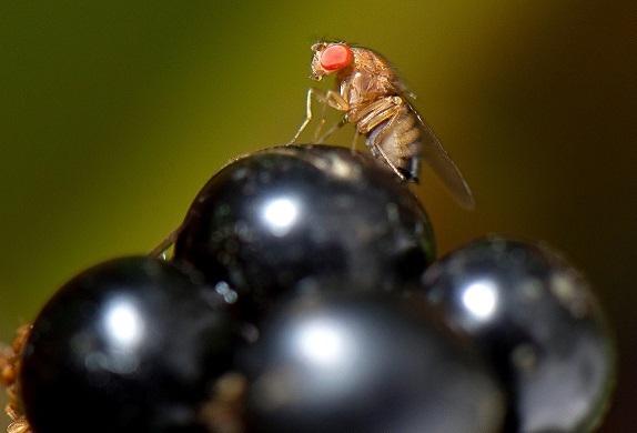 drosophila-su-uva-fonte-consorzio-agrario-tv-condifesa-tv
