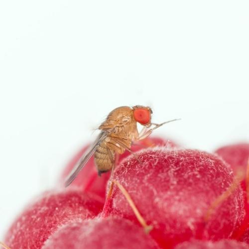 drosophila-suzukii-fonte-fem