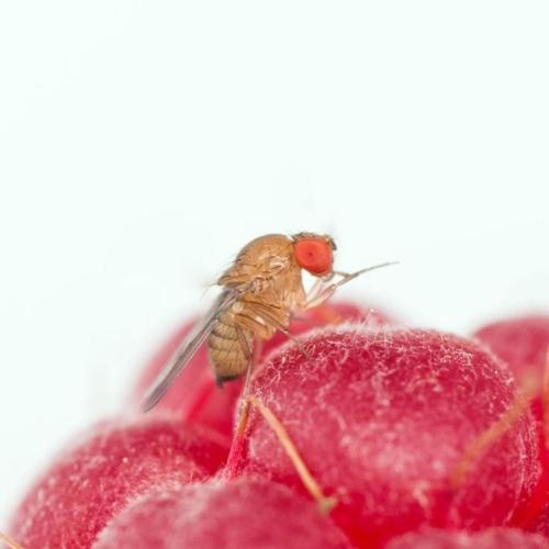 drosophila-suzukii-lampone-fonte-fondazione-edmund-mach