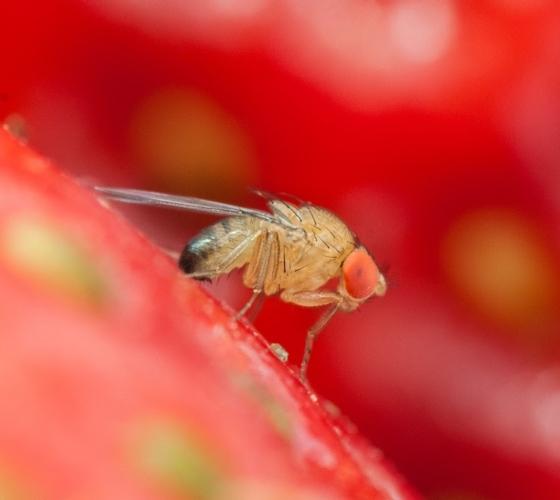 drosophila-suzukii-mar-2021-fonte-fondazione-edmund-mach