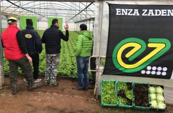 Espelo e Alleria, le nuove lattughe da serra di Enza Zaden - Plantgest news sulle varietà di piante