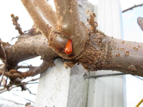 essudato-rosso-batteriosi-kiwi-da-zespri