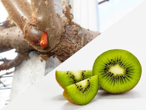 essudato-rosso-batteriosi-kiwi
