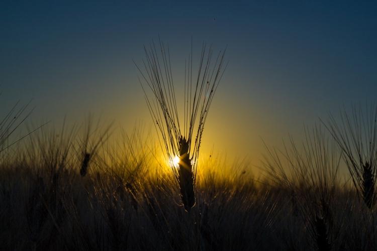 estate-grano-cereali-tramonto-stefano-guerra