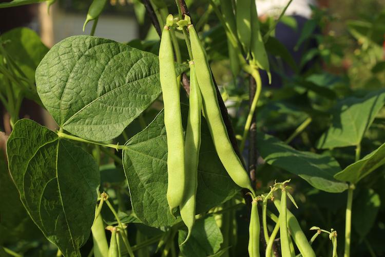 Fagiolino, il povero ricco dell'orticoltura - Plantgest news sulle varietà di piante