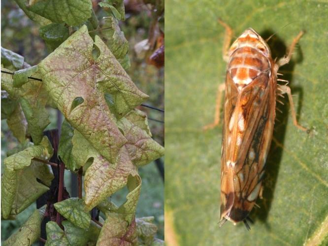 falvescenza-dorata-scapoideus-titanus-by-modificato-josef-klement-yerpo-wikipedia-jpg