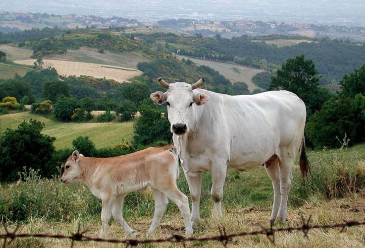 femmina-e-vitello-razza-chianina-by-monica-di-angghiari-wikipedia-jpg