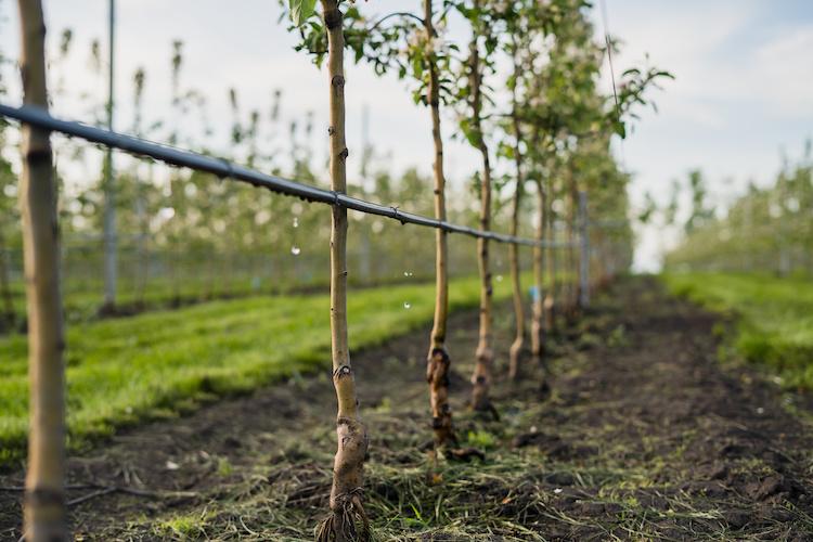 fertirrigazione-irrigazione-a-goccia-melo-frutteto-frutticoltura-by-zorgens-adobe-stock-750x500