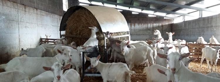 fieno-silato-capre-da-latte-azienda-scanu-giornata-dimostrativa-fonte-crpa