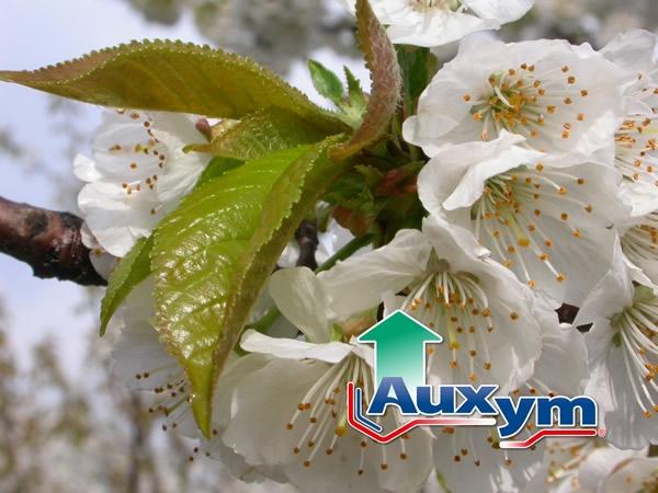 fiore-ciliegio-bianco-auxym-italpollina