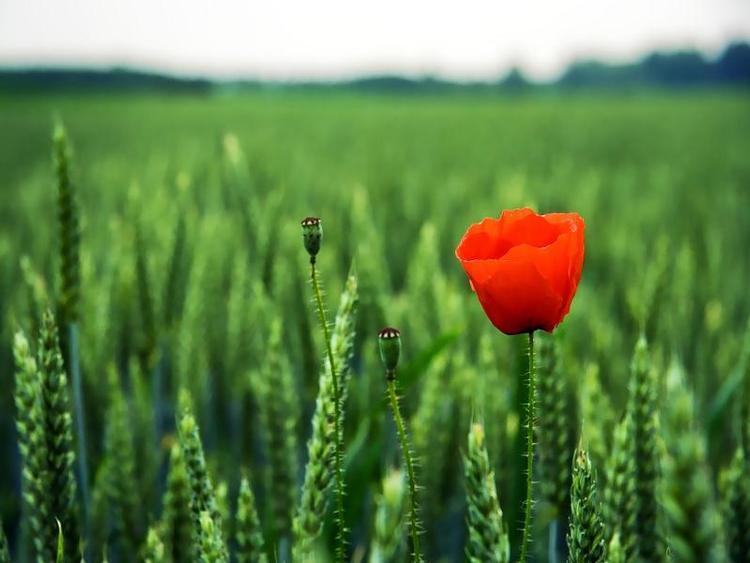 fiore-di-maggio-grano-frumento