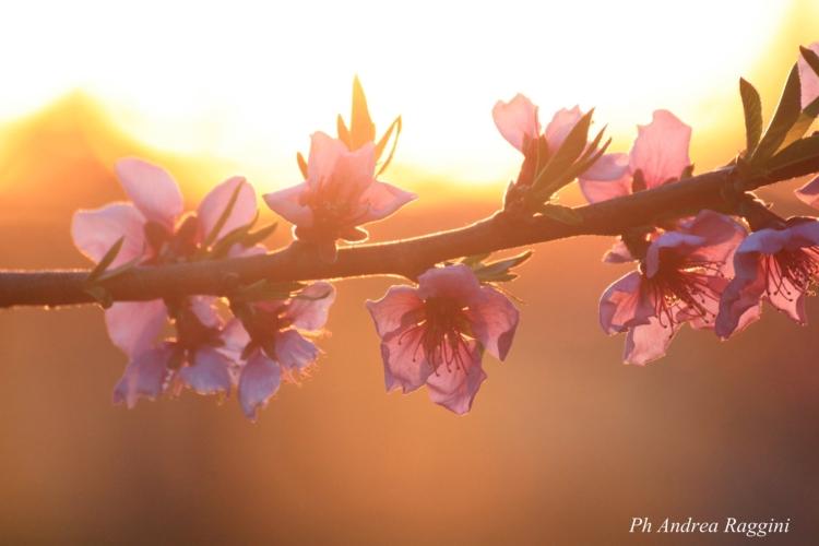 fiori-pesco-primavera-andrea-raggini.jpg