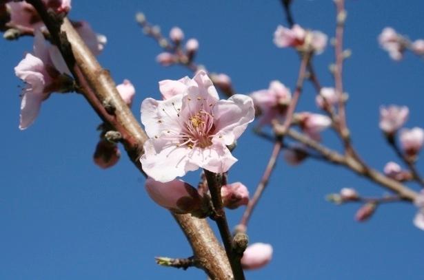 fiori-pesco-primavera-by-jeanne-grunert-morguefile