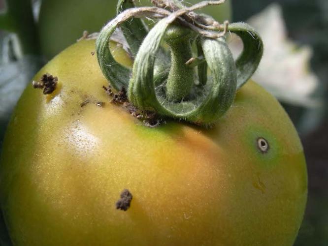 fitofagi-pomodoro-da-mensa-fonte-biogard.jpg