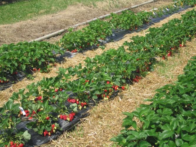 fragola-alba-coltivazione-file
