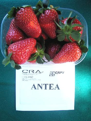 fragola-antea-byilcs-varieta-nuova-2008.jpg