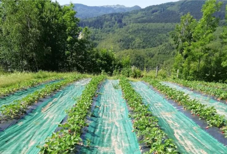fragola-coltura-montagna-by-susanna-pecchia-unipi-jpg
