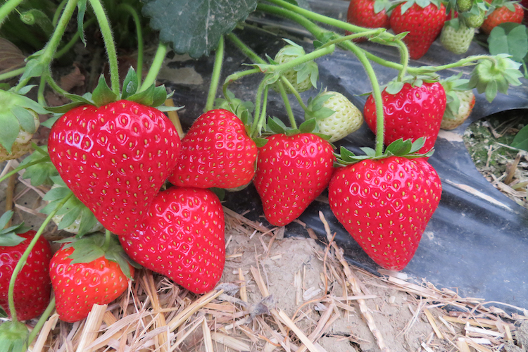 Geoplant scommette sul tardivo con la cultivar di fragola Talia - Plantgest news sulle varietà di piante