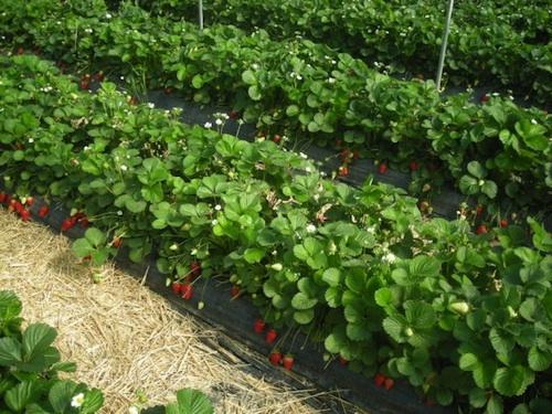 Idrol-Veg: il partner ideale per la fertirrigazione - le news di Fertilgest sui fertilizzanti