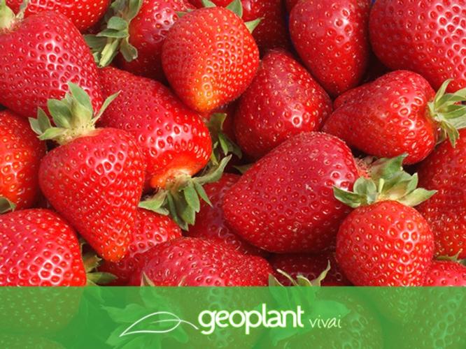 Fragola, quando il gioco si fa duro Geoplant risponde - Plantgest news sulle varietà di piante