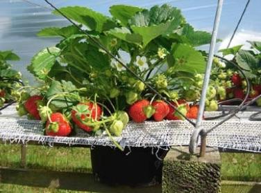 Presentazione progetto GoodBerry: visita ai campi sperimentali e convegno - Plantgest news sulle varietà di piante
