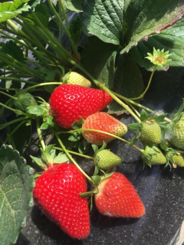 fragole-ortofrutta-guarino-natural-garden-giu-2019-rubrica-agroinnovazione-fonte-guarino-natural-garden