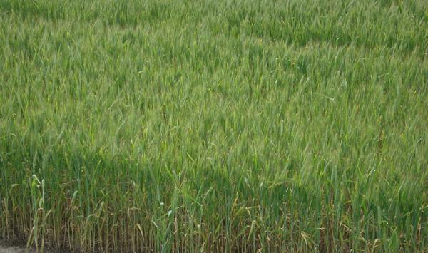 frumento-campo-prova-fonte-ilsa1