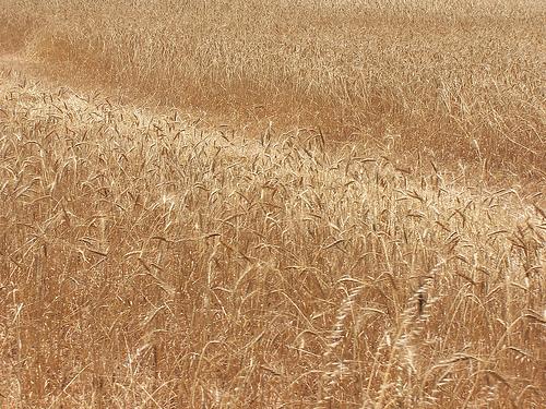frumento-grano-campo-cereali-byflickrcc20-diluvi.jpg