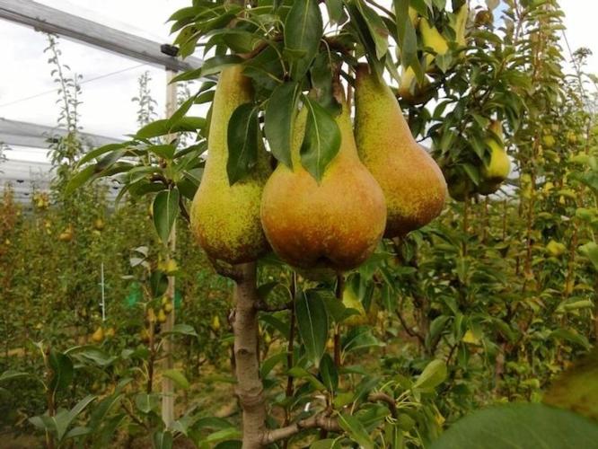 frutteto-abate-pera-pero-pere-fonte-cso