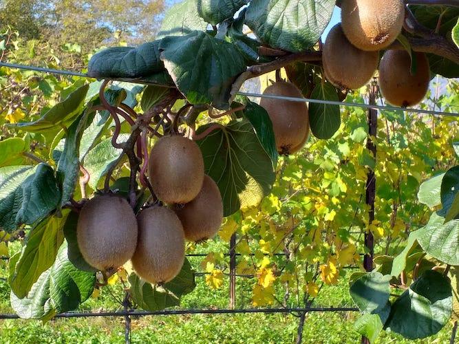 Green Angel<sup>®</sup>, il kiwi di domani comincia oggi - Plantgest news sulle varietà di piante