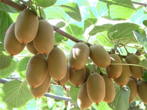 frutti-jintao-pre-raccolta-fonte-consorzio-kiwigold.jpg
