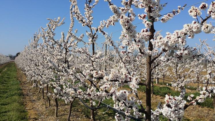 frutticoltura-albero-in-fiore-rubrica-agroinnovatori-lug-2019-fonte-azienda-agricola-bertoni-gian-paolo.jpg