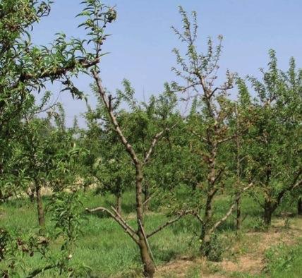 frutticoltura-convegno-crpv-aprile2010-frutteto-filare