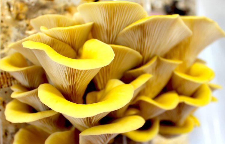 funghi-gialli-rubrica-agroinnovatori-nov-2019-fonte-funghi-espresso
