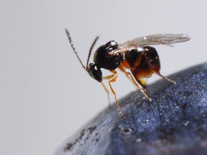 ganaspis-brasiliensis-parassitoide-della-drosophila-suzukii-mag-2020-fonte-fondazione-edmund-mach.jpg