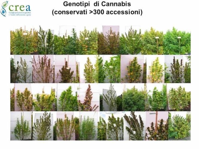 genotipi-di-cannabis-crea-primo-art-gen-rosato