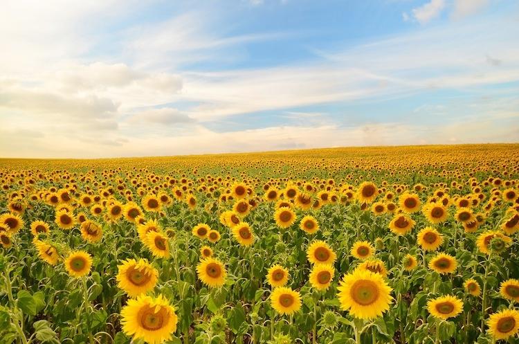 Girasole, pronti i primi contratti interprofessionali - Plantgest news sulle varietà di piante