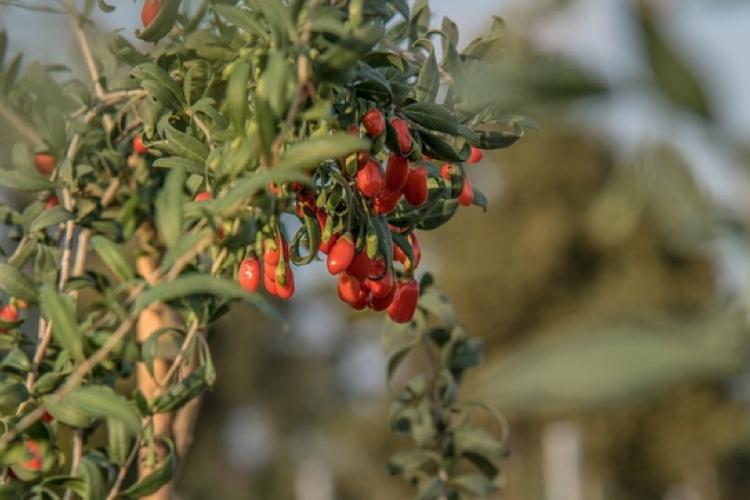 Quanto è buono il goji italiano - Plantgest news sulle varietà di piante