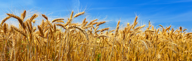 grano-campo-frumento-by-denis-333-fotolia-750.jpeg