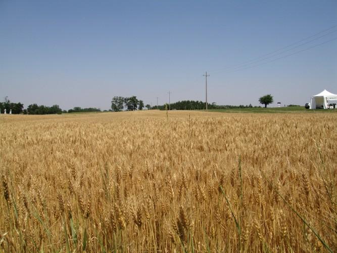 60ff959475 Grano duro, il clima rallenta i raccolti - AgroNotizie - Vivaismo e ...