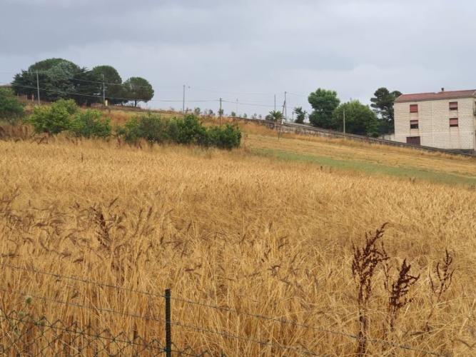grano-duro-allettato-da-pioggia-15-lug-2020-coldiretti-sicilia