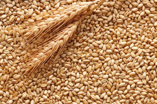 grano-duro-fonte-confagricoltura