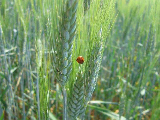 grano-duro-frumento-coccinella-by-martinarak-wikipedia-jpg