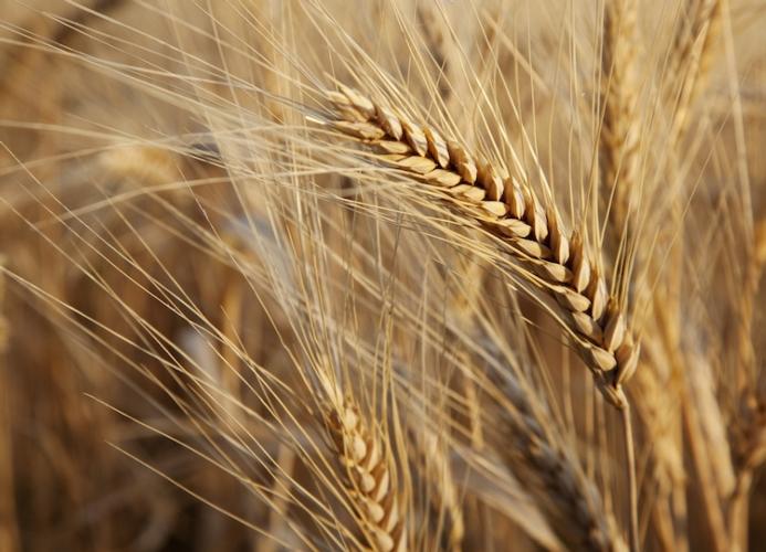 Frumento duro: miglioramento genetico sostenibile e innovativo - Plantgest news sulle varietà di piante