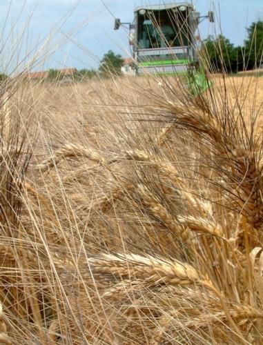 grano-duro-spighe-campo-fonte-assosementi