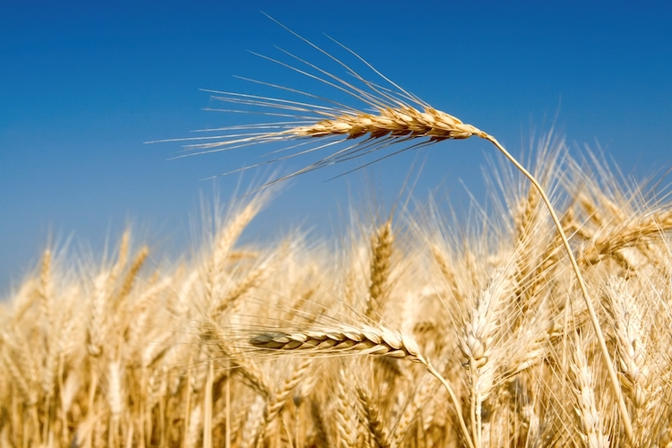 grano-fonte-assosementi