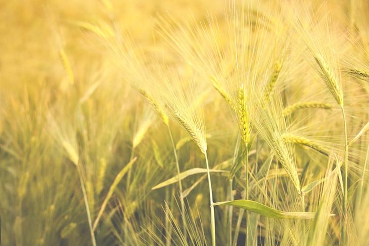 Cereali: in rialzo i prezzi del grano tenero - Plantgest news sulle varietà di piante